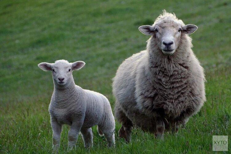 Grazende schapen verplaatsen zich door Castricum