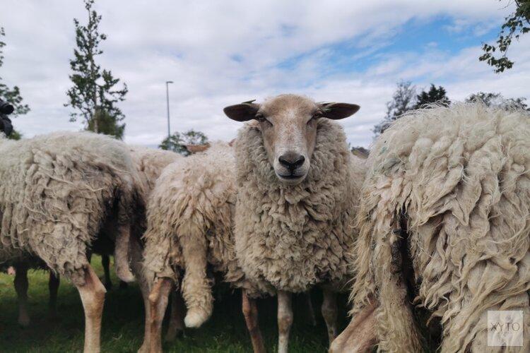 Grazende schapen verplaatsen zich door dorp