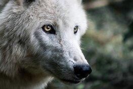 Vernieuwde tentoonstelling over de wolf verhuist naar De Hoep